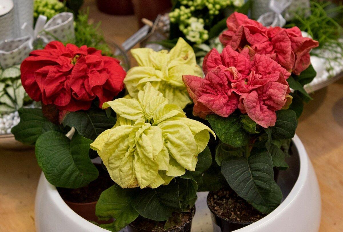 Lilled, taimed, jõuluilu, jõuluehted, Hortes, jõulutäht, mini, kräsu, Euphorbia pulcherrima