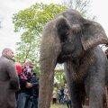 Mai lõpus lõbustas elevant Medi Viimsis veel huvilisi, ent loomakaitsjate arvates oleks ta juba siis võinud pensionile minna.