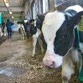 Lehmad ilma inimeseta läbi ei saa.