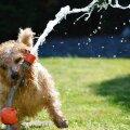 Kati Ernits: Olukorrad, kus koera käes on kontroll, mõjuvad koera üldisele kuulekusele pärssivalt. Kuidas koeraga õigesti mängida?