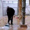 VIDEO | Tallinna Loomaaias haaras šimpans harjavarre ning hakkas koristajaks