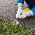В Хааберсти ведется активная борьба с опасным чужеродным видом слизней