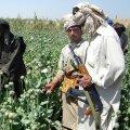 Taliban on koorinud Afganistanis toodetavalt oopiumilt sadu miljoneid dollareid. Kuna välisabi kuivab pärast režiimivahetust ilmselt kokku, omandab kuritegelik äri vaeses riigis üha olulisema koha.