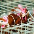 Linnukasvatajate seltsi juht: roheliste nõuded kana- ja munakasvatusele on ebamõistlikud