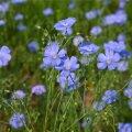 Lina eelistab kasvada päikeselises parasniiske pinnasega kohas. Sobib suurepäraselt ka lillepeenrasse.