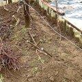 Pildil on näha kolme minu kasutatavat viisi viinapuude talvitamiseks. Enamik oksi on kaetud mullaga, puudub vaid soojustusmaterjal paljaskülma korral. Pildi keskosas on mahapainutatud oksad, mis kaetakse kõrvalolevate lõikusjäätmetega. Üks oks on jäetud püsti külmataluvuse kontrolliks. FOTO: JAAN KIVISTIK