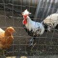 Uue-Hendriku talu kanad