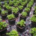Väike pott basiilikut võib aknalaual või sooja saabudes kasvuhoonesse istutatult anda pikalt saaki.