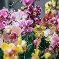 Orhideele võib saatuslikuks saada ülehooldamine — kuidas seda vältida?