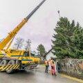 Vääna-Jõesuus saetakse Tallinna jõulupuu
