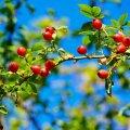 Korjata tasub mitte päris pehmeks küpsenud kibuvitsamarju, kõvades marjades säilivad vitamiinid paremini.