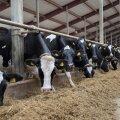 Kuna lehmad söövad umbes 60 kilo silo päevas, oleneb selle kvaliteedist nii nende tervis kui ka piimakus.