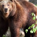 Kamtšatkal hakkas karu surnuaeda üles kaevama, Jakuutias piirasid karud taigas sünnitajat