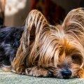 Ekspert aitab: Kas sul on kodus väikene koer? Sagedased väikeste koerte käitumisprobleemid, kuidas neid märgata ja lahendada?