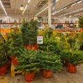 Живые растения помогают создавать атмосферу праздника, но приобретенный вместе с растением паразит может серьезно испортить настроение