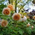 Vanamoodsad roosid, nagu see kaunitar Teasing Georgia,mis on Inglise roosiaretaja David Austini aretatud, on sellisel peol peategelasteks.
