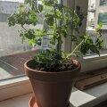 Talvitunud tomatitaim paar nädalat pärast ümberistutamist.