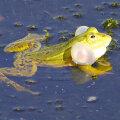 Про громогласную песнь зеленой лягушки в брачный период