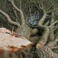 В Нарве на променаде шторм повалил деревья. А как же мышки?