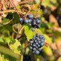 Eesti kliimas ei taha viinamarjad väljas hästi valmida.