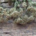 Harilikust raudrohust kogutakse õisikutega ladvaosa, millest kuivatatult valmistatakse raviteed ja -tõmmist.