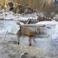 PILTUUDIS: Saksamaal saeti Doonau jõest välja jääkuubik külmunud rebasega