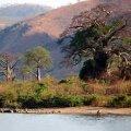 AHVIDE LEIB: Paar ahvileivapuud Niassa järve kaldal Metangula linnas. Mele Pesti