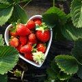 Oma aia maasikad on parimad!