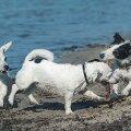 Koera tuleb sobivas eas teiste liigikaaslastega tutvustada – muidu ei edene koos mängimine, vaid algab kaklus.