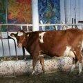 Lehmad emotsioonide väljendamiseks liigselt häält ei raiska