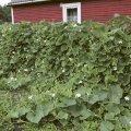Heli Kuusk Saaremaalt kasvatab pudelkõrvitsaid pikal piirdeaial. Lopsakas taim sobib ülihästi vertikaalpindade katmiseks.