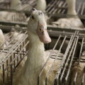 Foie gras tootmine tähendab lindudele piinu nii elus kui surres