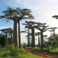 Sammas-ahvileivapuud (Wikimedia Commons / Bernard Gagnon)