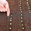 Kui seemned otse kasvukohale külvata, jääb ära igasugune potitamine-poputamine ja saaki saab ikkagi