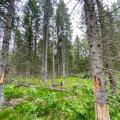 20-25 cm läbimõõdus puu peale läheb 3000-4000 üraskit.