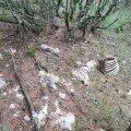 Kadunud tuhande lamba juhtumi uurimisega kogunenud tõendid viitavad, et vabapidamisel loomad hukkusid looduses ning kadusid nii, nagu kaob metslooma korjuski.