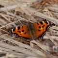 ANNA TEADA, kas oled juba sel kevadel esimest liblikat näinud?