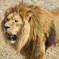 Lõuna-Aafrika Vabariigis sõid lõvid salaküti ära