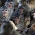 Illustratiivne pilt Tai ahvidest ootusärevalt inimeste poole vaatamas. (Foto: REUTERS)