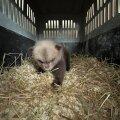 ФОТО | С обочины дороги спасли двухмесячного медвежонка. Косолапому уже нашли новый дом