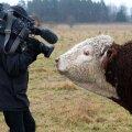 Herefordi tõugu pull kaamerameest uurimas.