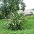FOTOD: Õunapuud on saagi all murdumas