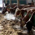 Kõljala POÜ lehmad ei tea, mis asi on kett, nad on vabad vabalt ringi liikuma. Ja sööki haukab ning vett luristab igaüks just siis kui soovib.