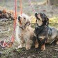 Kuigi grillpeo lõhnad koeri meelitavad, ei maksa neile jääke anda