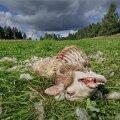 Murtud lammas