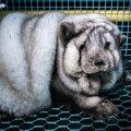 Hiigelmõõtmetesse aretatud polaarrebane Soome karusloomafarmis