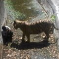 INDIA-ANIMAL-TIGER-ZOO-ATTACK