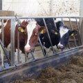 Omad plussid on nii punastel kui mustakirjudel lehmadel.