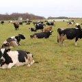 Lehmad karjamaal