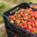 Maaleht maasikapõllul